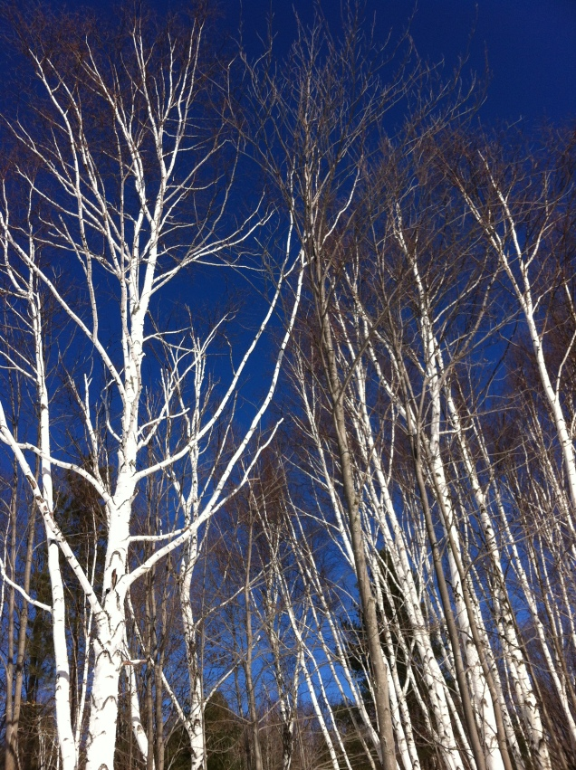 Trees against an amazing blue sky, near our house. [Photo by me, 2014.]