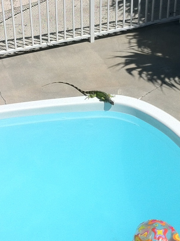 Iguana by the pool. Marathon, Florida. [Photo by me, 2014.]