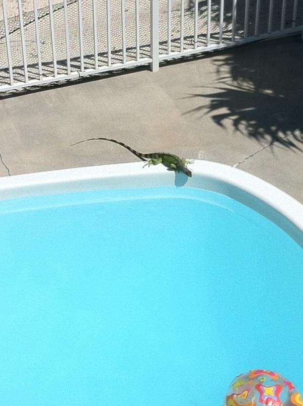 Iguana by the pool. Marathon, Florida. [Photo by me, 2014.]