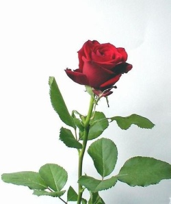 Free Stock Photo: A long stem red rose on a white background.