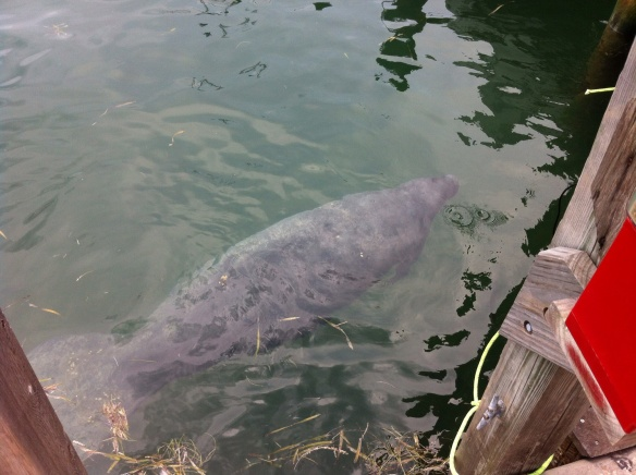 Manatee, below a dock in Key West. [Photo by me, 2014.]