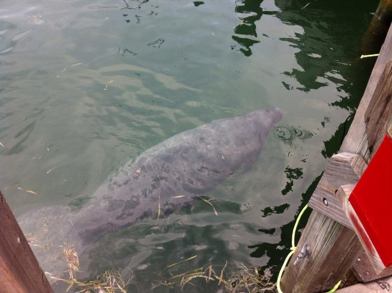 Manatee, below a dock in Key West. [Photo by me, 2014.]