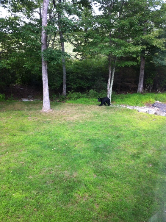 Bear emerging from the woods. Pennsylvania. [Photo by me, 2014]