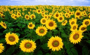 Free Stock Photo: Sunflowers in a field.