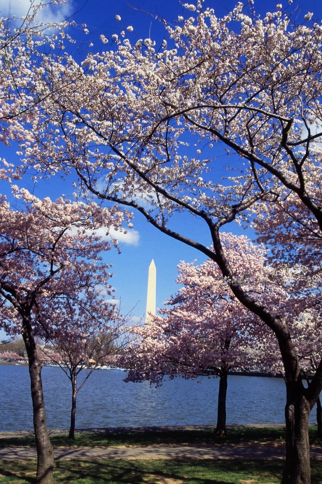 Free Stock Photo: Resplendent cherry trees from Japan ring the Tidal Basin at Washington, D.C.
