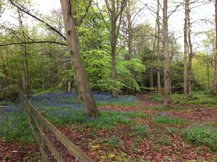 Bluebells are still out. [Photo by me today.]