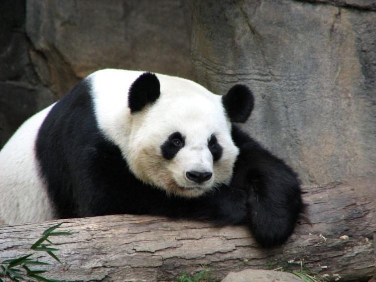 Free Stock Photo: Panda resting on a log.