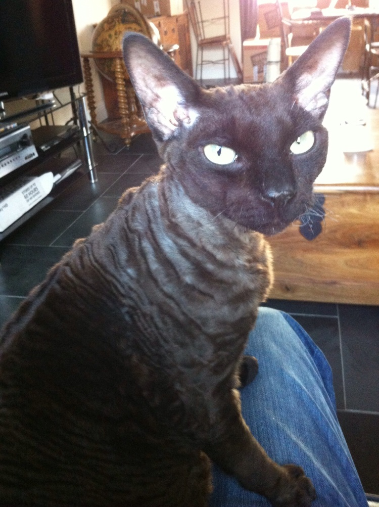 A Devon Rex on my lap.