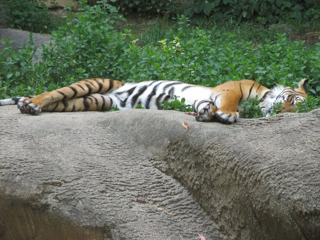 Stock Photo: An Indo-Chinese tiger sleeping on a rock.